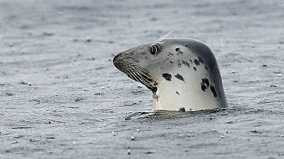 Grey seal at Chanonry Point