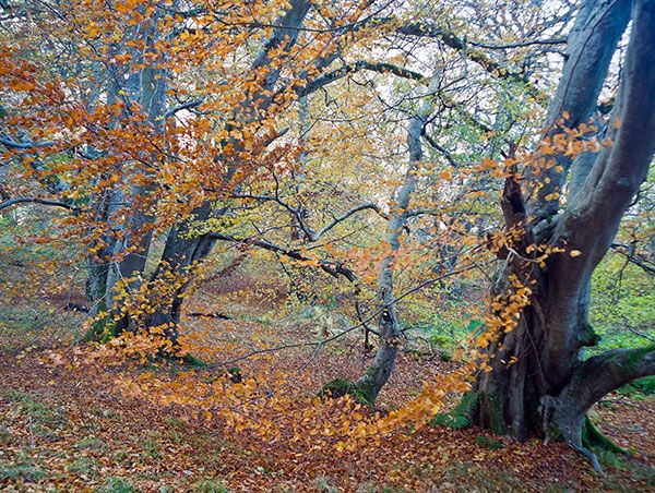 Beech in Drummondreach Oakwood